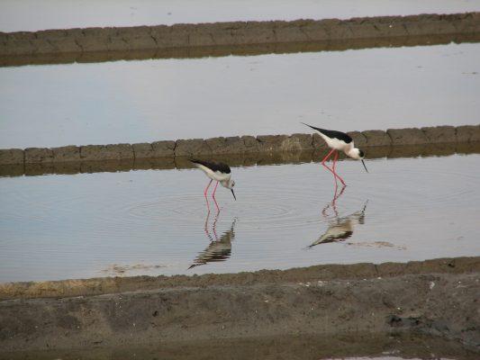 Himantopus himantopus, an avifauna species using saltpans as nesting sites (Aveiro municipality, Ria de Aveiro region)