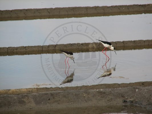 Himantopus himantopus, an avifauna species using saltpans as nesting sites (Aveiro municipality, Ria de Aveiro region)