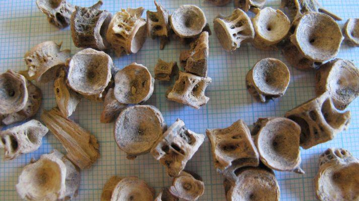 archaeological fish bones
